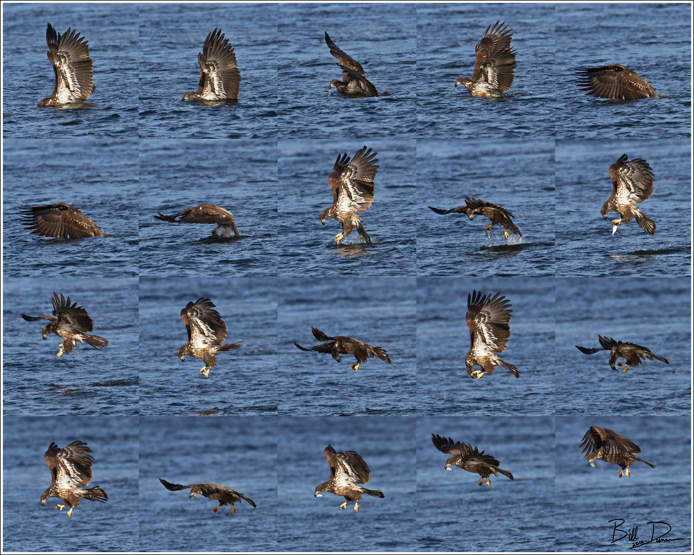 Bald Eagle Series