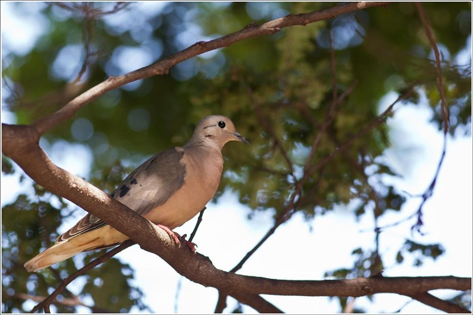 Eared-Dove