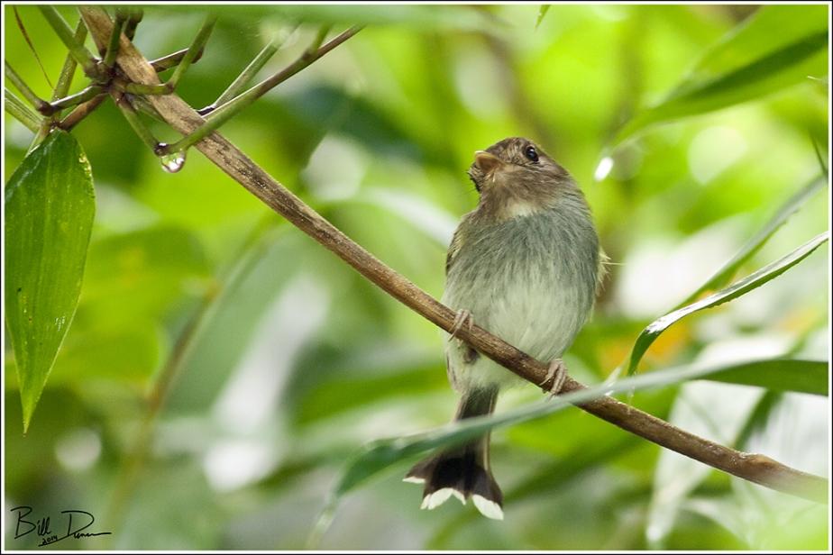 Fork-tailed Pygmy Tyrant