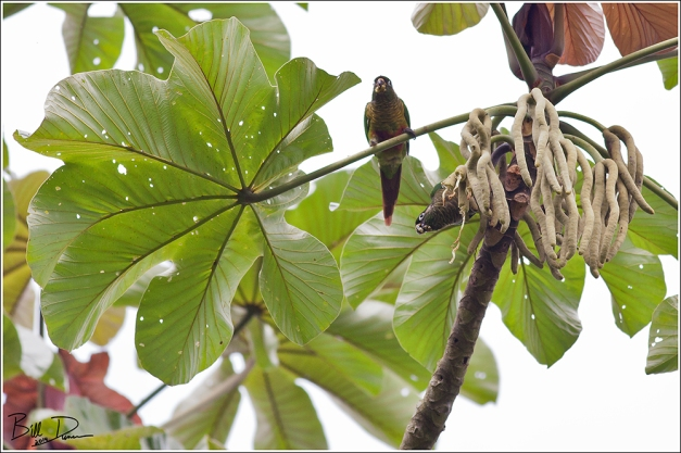 Maroon-bellied Parakeet 2