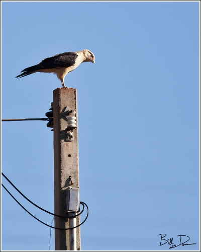 Yellow-headed Caracara - Adult 2