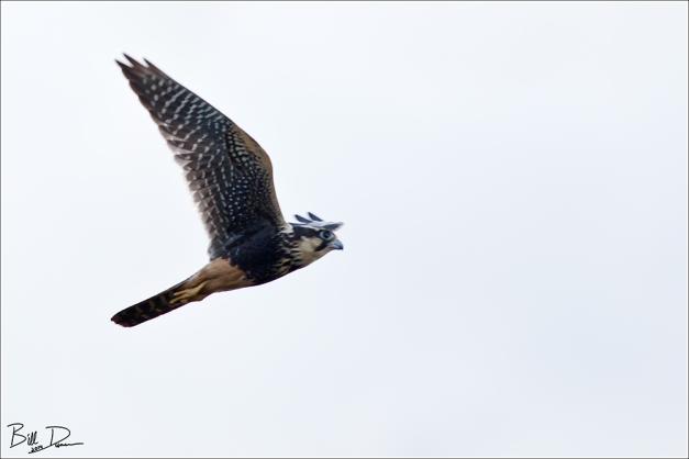 Alpomado Falcon
