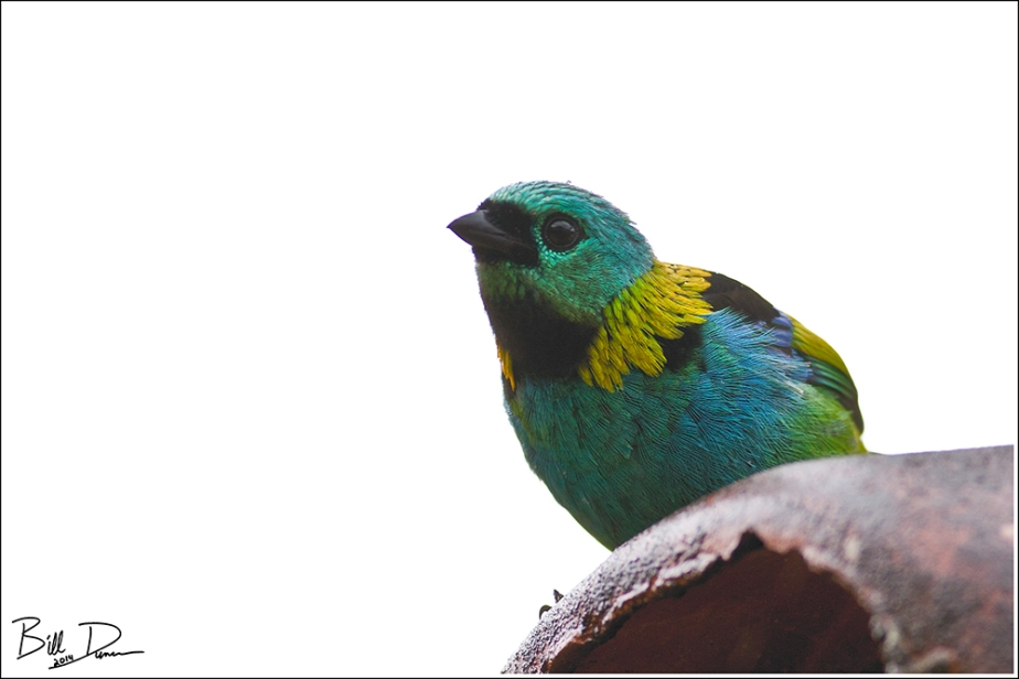 Green-headed Tanager 2