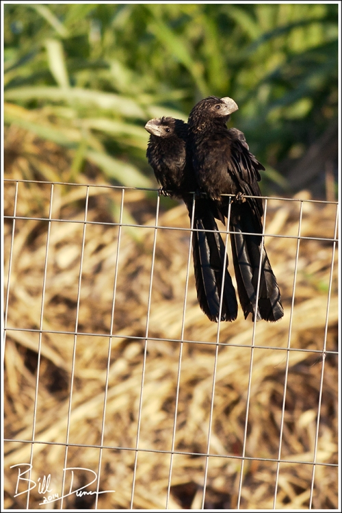 Smooth-billed Ani 2