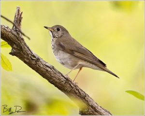 Grey-cheeked Thrush