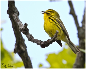 Prairie Warbler in Song