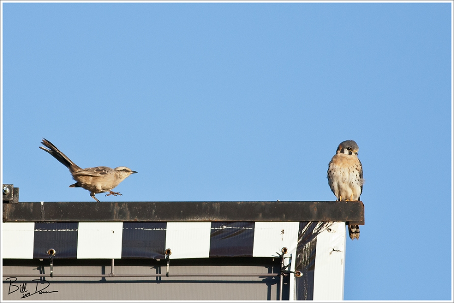 Kestrel and Mockingbird