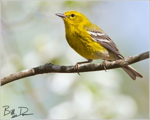 Male Pine Warbler, Big Spring State Park, April 2014