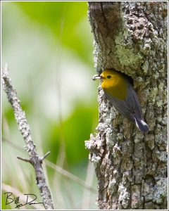 Prothonotary Warbler Removing Fecal Sac.