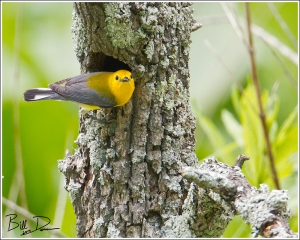 Prothonotary Warbler at Nest