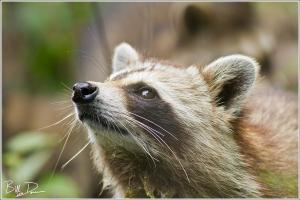 Mingo Raccoons