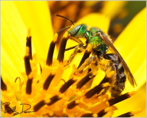 Metallic Sweat Bee (Agapostemon sp.)