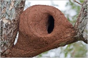 Rufous Hornero - Nest