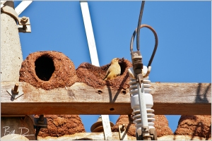 Rufous Hornero - Nest Building
