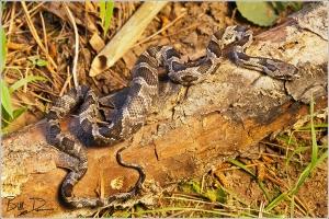 Black Rat Snake - Eater of Chicks