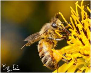 Honeybee Harvesting Silphium