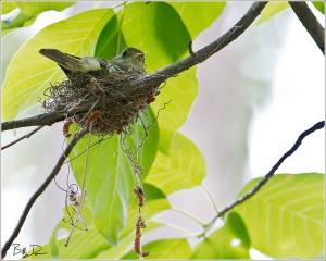 Acadian Flycatcher - On Nest