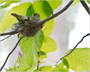 Acadian Flycatcher - On Nest
