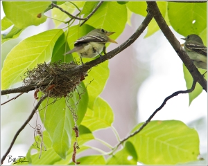 Acadian Flycatchers - Giving the Business