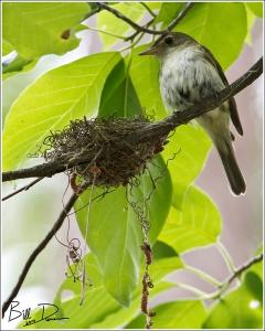 Acadian Flycatchers - Mom Taking a Break