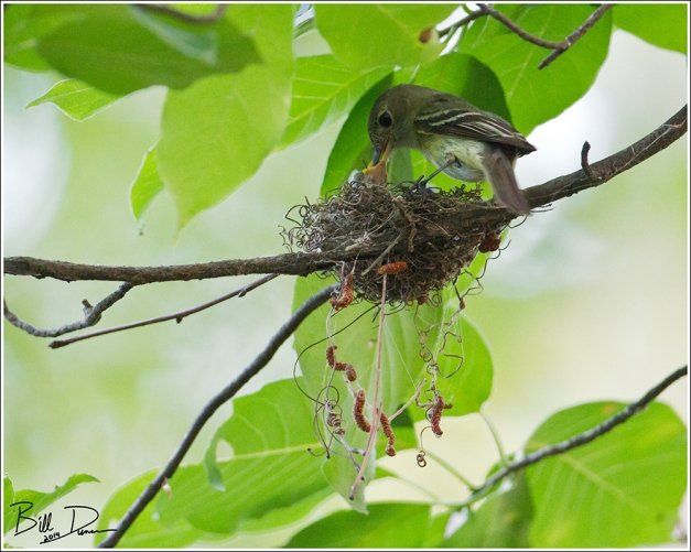 Acadian Flycatchers - Feeding Time