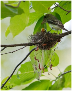 Acadian Flycatchers - Unmistakable