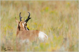 The Pronghorn
