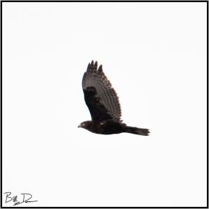 Harlan's Hawk