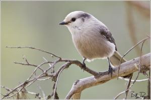 The Gray Jay