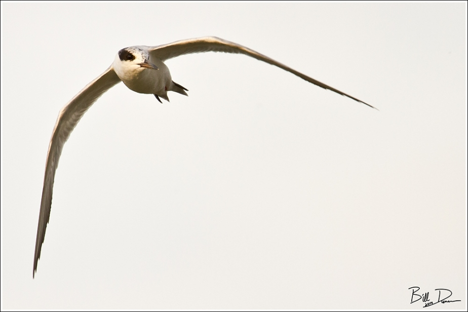 Least Tern