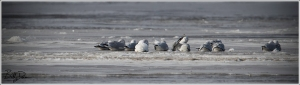 Ivory Gull Hanging with the Locals