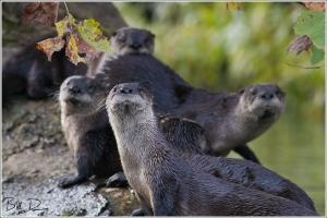 Otter Family II