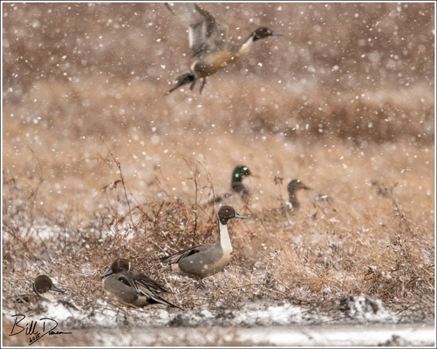 Snow Falling on Pintails