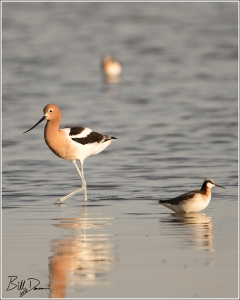 American Avocet and Wilson's Phalarope