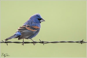 Blue Grosebeak