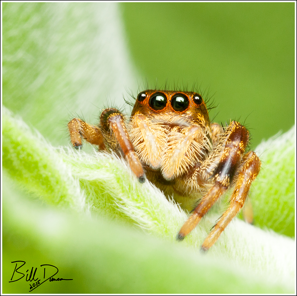 File Jumping Spider Botanical Garden 5 Jpg Wikimedia Commons