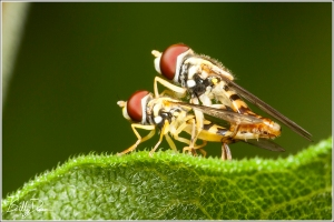 Syrphid Sensuality