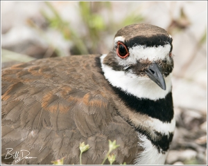 Killdeer! Killdeer! Killdeer!