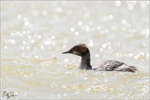 Eared Grebe - Winter
