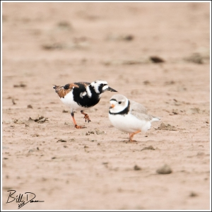 Ruddy Turnstone with Pipping Plover