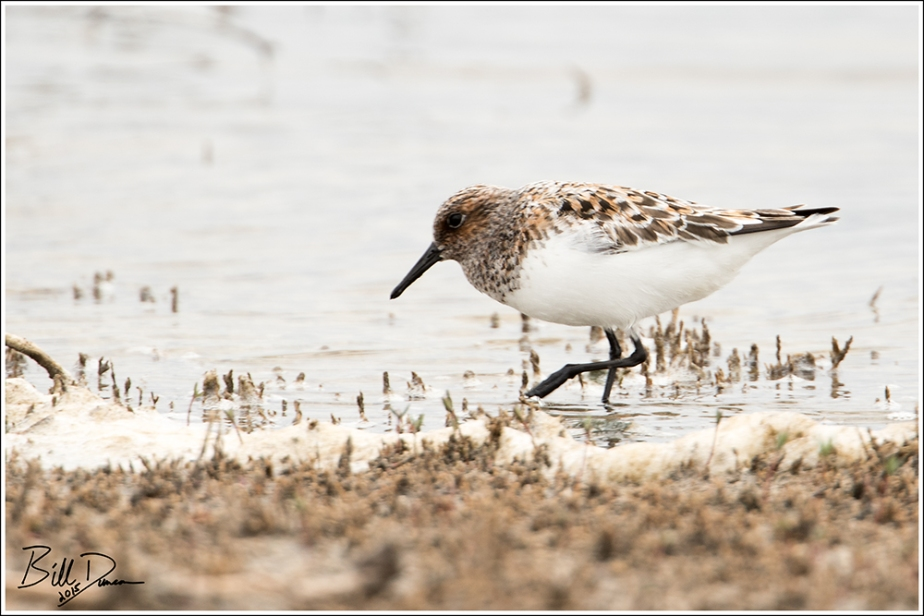 Sanderling Breeding