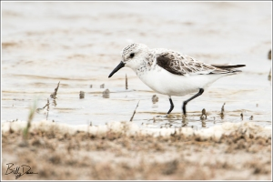 Sanderling Juv or Winter - 6A1A3007