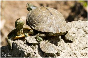 Common Map Turtles