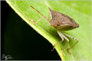 Brown Stinkbug
