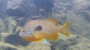 Long-eared Sunfish