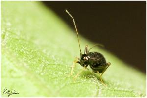 Garden Fleahopper