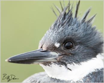 Belted Kingfisher, Cheyenne Bottoms Wildlife Refuge, KS