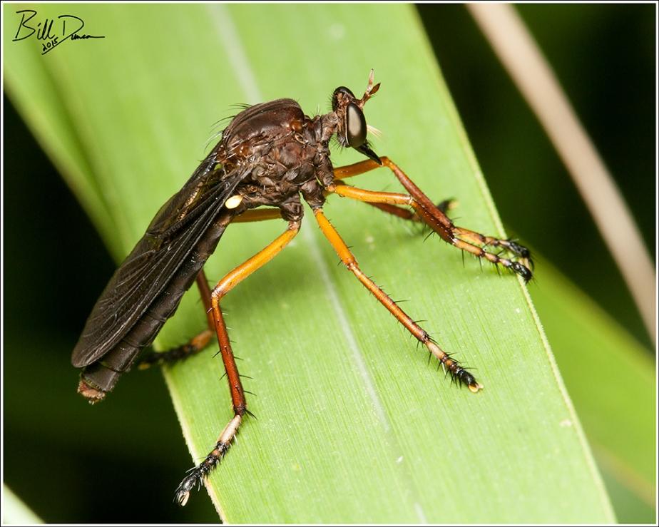 Dioctria sp.