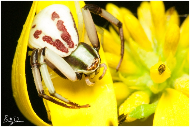 Crab Spider