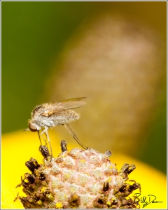 Geron Bee Fly